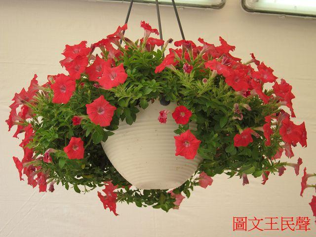 2013香港花卉展覧--吊篮植物